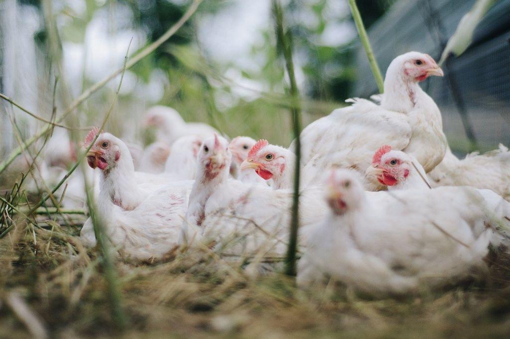 poulet élevage